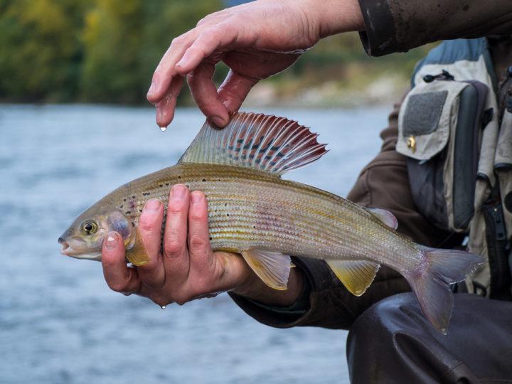 temolo pescato nel fiume Adige presso Ala, Vallagarina, Trentino