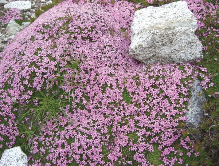 lo-spettacolo-della-flora-alpina_84c8b5f7a70c643e24327a139c53c485